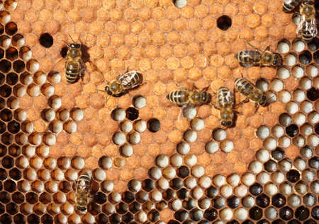 Bees take care of the larvae - their new generation  Stock Photo
