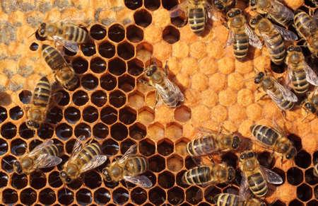 abeilles: Les abeilles prennent soin des larves - sa nouvelle g�n�ration Banque d'images