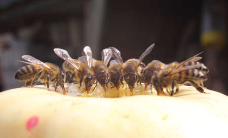 Bees takes honey from going into the apple  Stock Photo