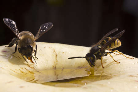 Bee and wasp take honey from going into the apple Stock Photo - 17448458