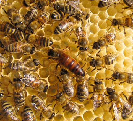 bee queen: Abeja reina siempre est� rodeado por los trabajadores - su sirviente