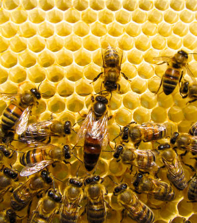 beekeeping: Queen bee is always surrounded by the workers - their servant