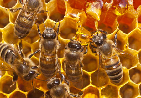 resulting: Bees take honey from the resulting drop