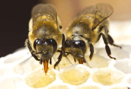 Las abejas n�ctar en miel proceso Foto de archivo - 18876516