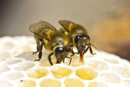 Bees convert nectar into honey Stock Photo