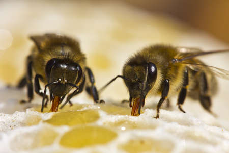 Bees convert nectar into honey and cover it in honeycombs Reklamní fotografie