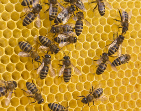 corresponds: Cell sizes corresponds to size of larvae of bees future