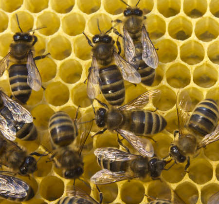 corresponds: Zize of cells corresponds to size of larvae future of bees