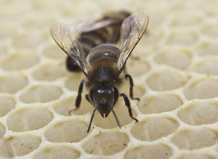 corresponds: Cell measurements corresponds to size of larvae of bees future