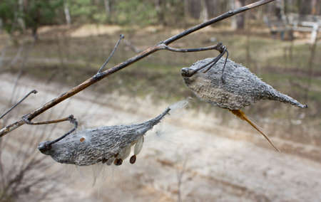 antispasmodic: Milkweed plant is called because its seeds are covered with fibrous fluff resembling wool   Stock Photo