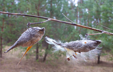 Milkweed plant is called because its seeds are covered with fibrous fluff resembling wool   Stock Photo