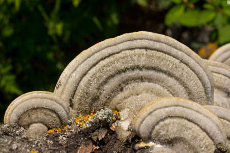 This beautiful bracket fungus destroys the tree  It is used in alternative medicine   photo