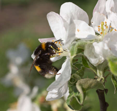 Bumblebee takes nectar from the flowers of apple trees and collect pollen