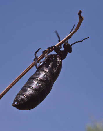 parasites: The larvae of this beetle parasites in the nests of bees.