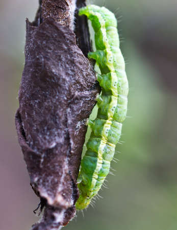 weevils: Pest of fruit trees pear weevils creates cocoons of young leaves.