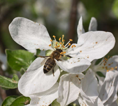 stamen wasp: Apple flowers give nectar and pollen.