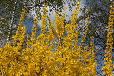 ornamental shrub: Ornamental shrub flowering in the spring. The flowers provide pollen and nectar.