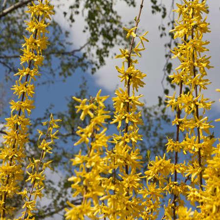 ornamental shrub: Ornamental shrub, flowering in the spring. The flowers provide pollen and nectar.