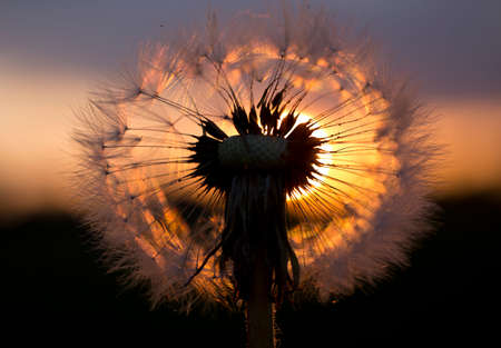 originality: Picture is made in the evening dandelion against the sun. Stock Photo