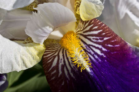 dearest: Irises have different colors and are used in landscape design. Stock Photo