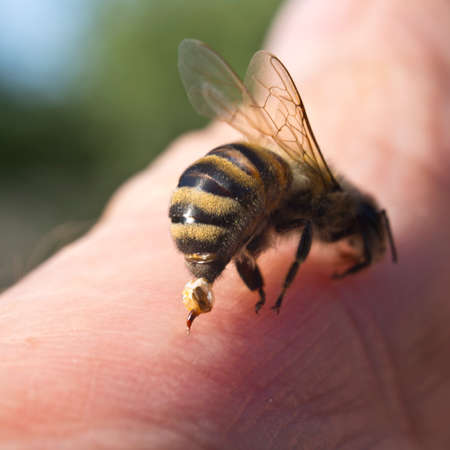aggressor: To protect bee uses the poison that admits into body of aggressor with a thin sting.