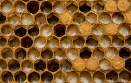 Honeycombs are developing larvae of bees future generation of beneficial insects.