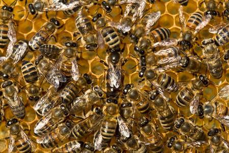 abeja reina: Abeja reina est� siempre rodeado de los trabajadores abejas su siervo.