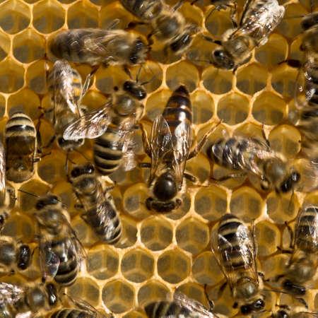 queen bee: abeja reina siempre est� rodeado por las abejas obreras a su sirviente. Foto de archivo