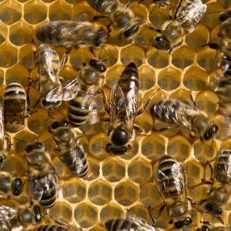instinct: Queen bee is always surrounded by the workers bees their servant.