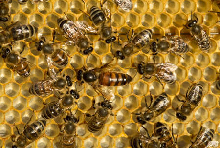 queen bee: Queen bee is always surrounded by the workers bees - their servant. Stock Photo