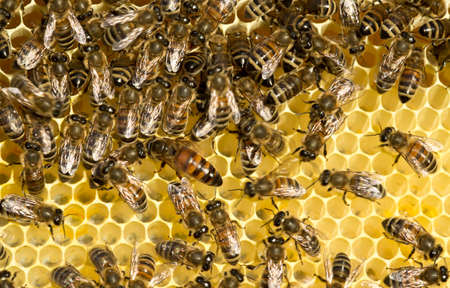 queen bee: Queen bee moves cells with nectar. Stock Photo