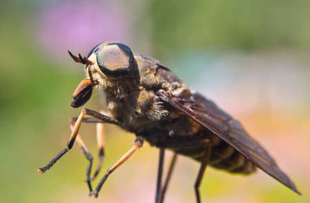 whose: Gadfly - winged insects whose larvae feed on mammals. Stock Photo