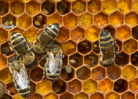 Bee pollen is filled with honey. This forms a pollen. Stock Photo
