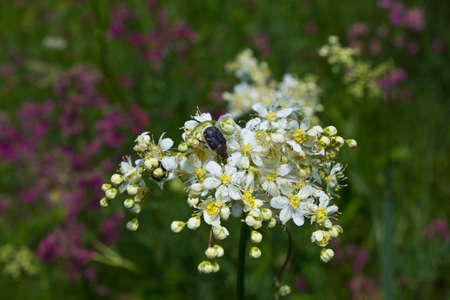 scarabaeidae: This beetle - a dangerous pest plants. It is powered petals, pollen and nectar of flowers.