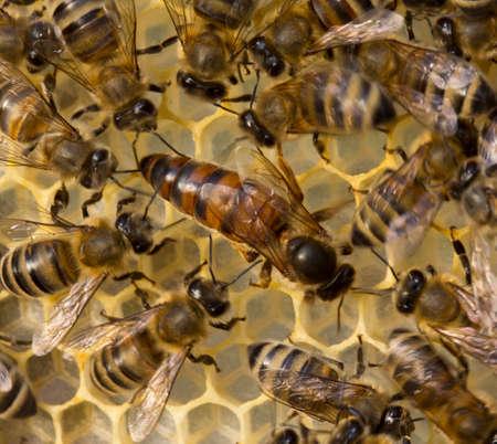 Ape regina è sempre circondato da api operaie? loro servo. Archivio Fotografico - 60236779