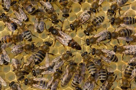 abeja reina: Abeja reina se mueve en los panales.