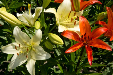 vibrations: Lily flowers in the rays of the evening sun.