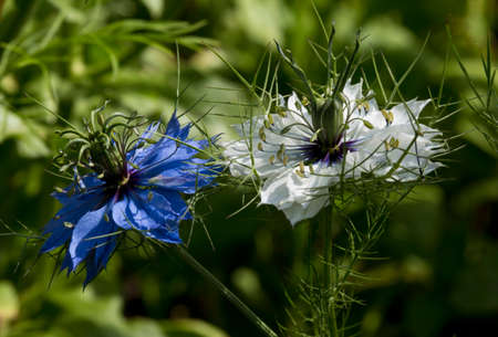 plant seed: Flower Nigella is an unusual shape and it attracts attention Stock Photo