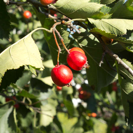 lowering: Hawt Hawthorn berries ripen in late summer. Used as a medicinal plant for lowering blood pressure.