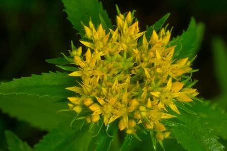 Rhodiola rosea wird als Tee verwendet, um Müdigkeit, Erschöpfung zu lindern, um Leistung und Ausdauer zu verbessern. Standard-Bild - 80696236