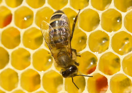 apiculture: Bees convert nectar into honey. In comb contains nectar, honey and pollen.