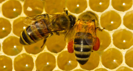 Bee pollen is filled with honey. This forms a ambrosia. Stock Photo