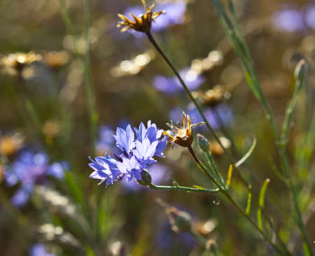 Flowers of the cornflower are very beautiful. This plant refers to weeds. Stock Photo