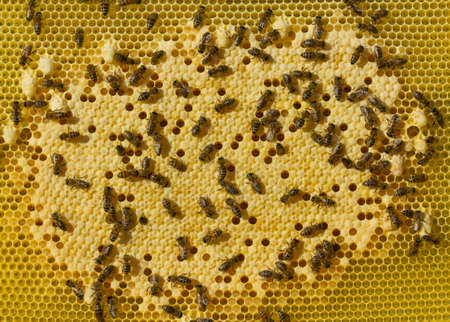 Larvae of bees and queens of bees develop in cocoons.