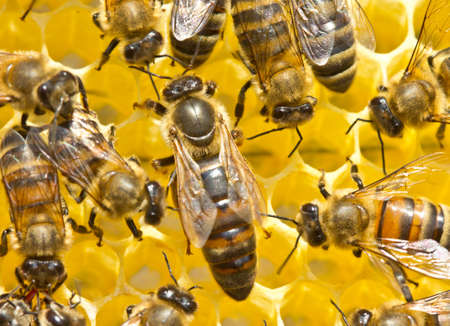 Queen bee lays eggs in the honeycomb