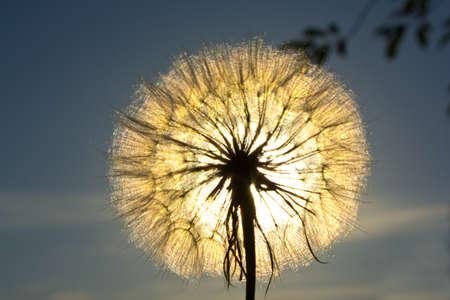 Parachutes of Tragopogon beautiful in evening light