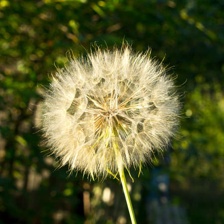 Seeds of Tragopogon in evening light Stock Photo