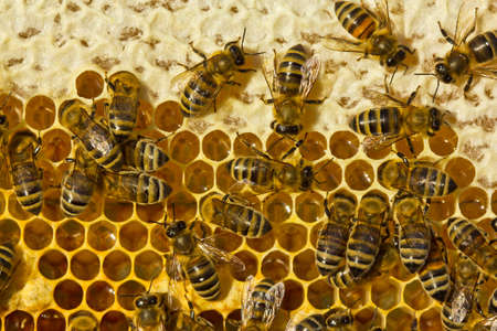 Bees close honey for long-term storage.