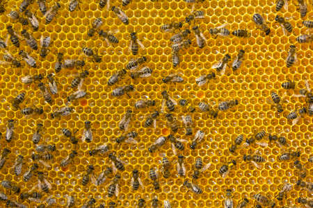 Bees convert nectar into honey and cover it in honeycombs. Stock Photo
