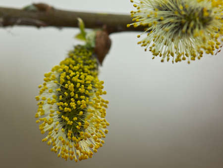 Buds of the willow blossom in early spring. So willow bush is flowering. Its flowers give a lot of pollen. Stock Photo